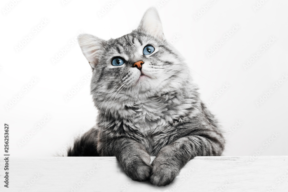 Fototapety, obrazy: Funny large longhair gray tabby cute kitten with beautiful blue eyes. Pets and lifestyle concept. Lovely fluffy cat on grey background.