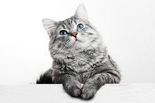 Funny Large Longhair Gray Tabby Cute Kitten With Beautiful Blue Eyes. Pets And Lifestyle Concept. Lovely Fluffy Cat On Grey Background.