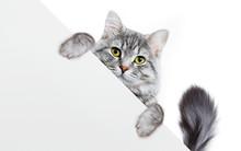 Funny Gray Tabby Kitten Showin...