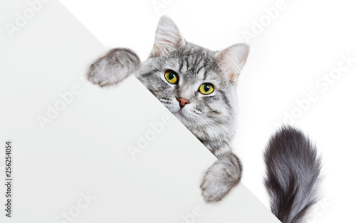 Keuken foto achterwand Kat Funny gray tabby kitten showing placard with space for text. Lovely fluffy funny cat holding signboard on isolated background. Top of head of cat with paws up, peeking over a blank white banner.