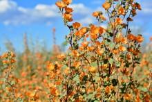 Desert Globemallow Arizona Superbloom Orange Flowers