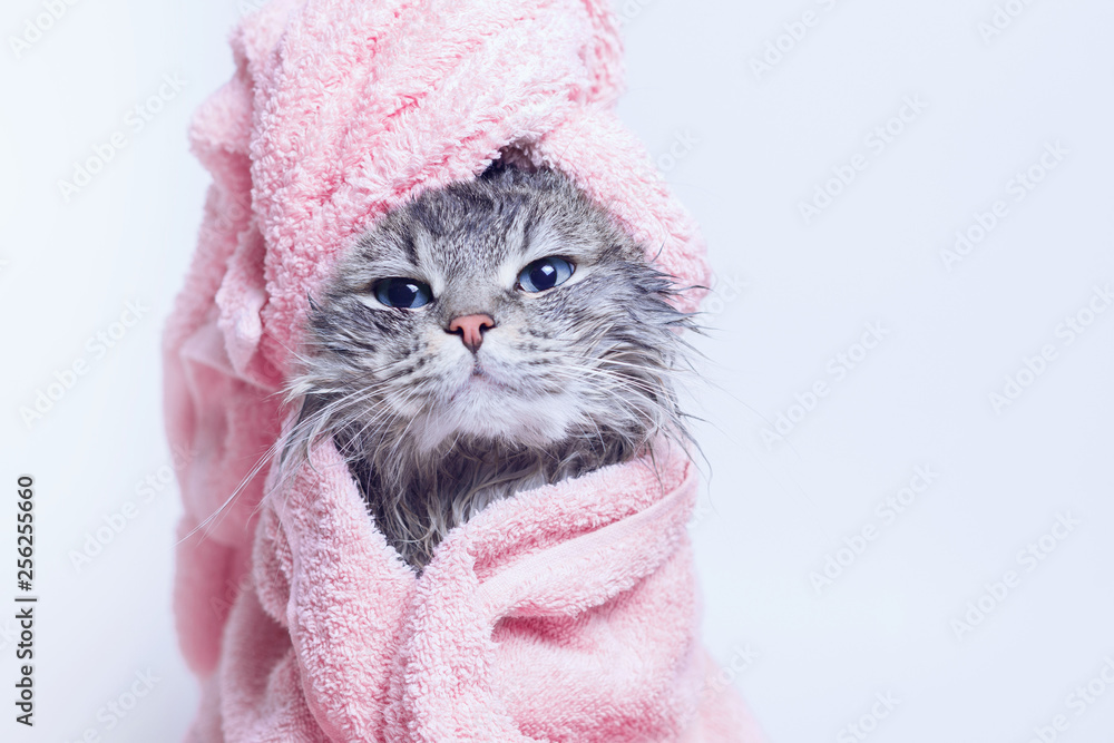 Fototapeta Funny smiling wet gray tabby cute kitten after bath wrapped in pink towel with blue eyes. Pets and lifestyle concept. Just washed lovely fluffy cat with towel around his head on grey background.