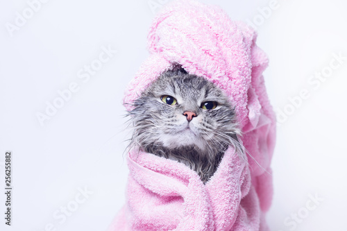 Funny smiling wet gray tabby cute kitten after bath wrapped in pink towel with yellow eyes. Pets and lifestyle concept. Just washed lovely fluffy cat with towel around his head on grey background.