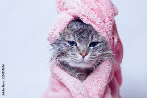 Funny wet sad gray tabby cute kitten after bath wrapped in pink towel with blue eyes. Pets concept. Just washed lovely fluffy cat with towel around his head on grey background.