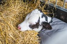 Cute Calf Sleeping In Golden Hay