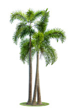 Betel Palm Trees Or Betel Nut Isolated On White Background.
