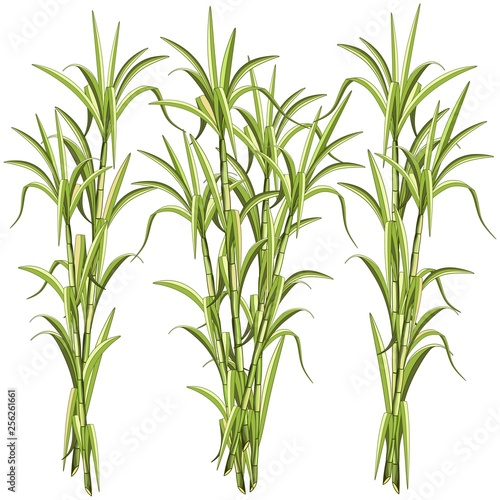 Spoed Foto op Canvas Draw Sugar CaneSugar Cane Exotic Plant Vector Illustration isolated on White