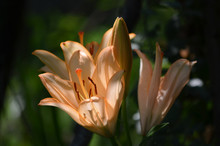 Close Up Two Orange Lily Flowe...