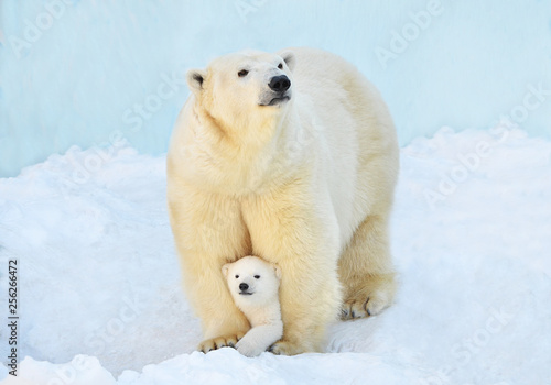 Poster Ijsbeer polar bear in snow