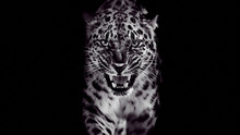 Leopard Growls, Isolated Portrait On Black Background