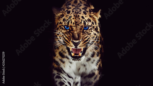 Leopard Leopard growls, isolated portrait on black background