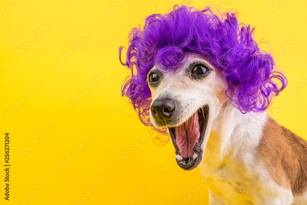 Fototapeta Surprised dog face in lilac curly wig. Yellow bright background. Emotional pet muzzle.