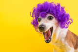 Fototapeta Zwierzęta - Surprised dog face in lilac curly wig. Yellow bright background. Emotional pet muzzle.