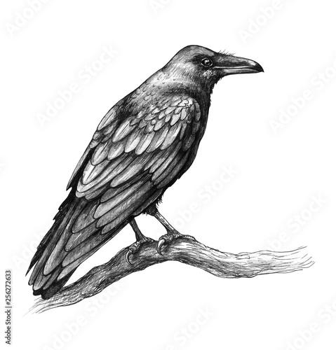 Raven  Side View Pencil Drawing Fototapete