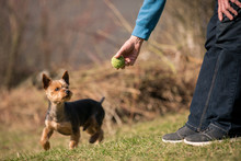 Senior Man Is Training His Dog Playing Ball With His Owner At An Off Leash Dog Park, Training Dog