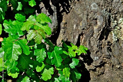Fotografie, Obraz  Poison Oak