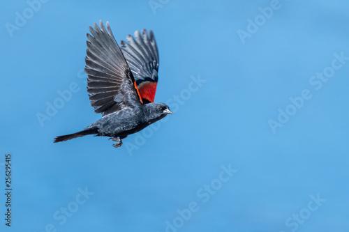 Red winged blackbird Wallpaper Mural