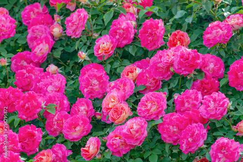 Spoed Fotobehang Roze バラの花