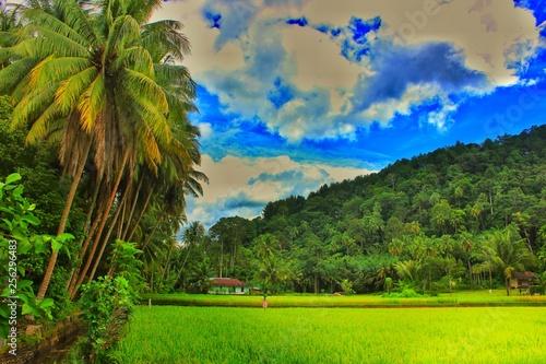 Fotobehang Rijstvelden sawah rice field and coconut tree