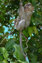 Baby Crab-eating Macaque Or Long-tailed Macaque (Macaca Fascicularis) Sitting In Tree, Taman Negara National Park, Malaysia, Asia