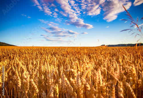 Photo  The filed of oat on the countryside near Domazlice