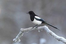 Common Magpie (Pica Pica) Sitting At Freezing Temperature On A Branch, Siegerland, North Rhine-Westphalia, Germany, Europe