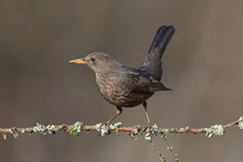 Blackbird (Turdus Merula), Female Sitting On Tree Branch, Siegerland, North Rhine-Westphalia, Germany, Europe