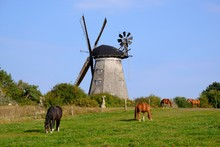 Horses On Pasture In Front Of Dutch Windmill, Benz, Usedom, Mecklenburg-Western Pomerania, Germany, Europe