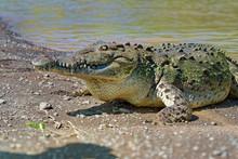 American Crocodile - Crocodylus Acutus Species Of Crocodilian Found In The Neotropics.