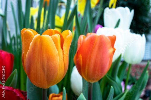 Photo  colorful tulips on a blue background
