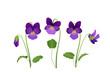 Sammlung von Veilchen Blumen,   Frühlingsblumen zur Ostern, Vektor Illustration isoliert auf weißem Hintergrund
