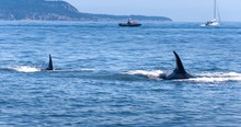 Two Orca Whales Close To The Camera Near Vancouver Island. A Whale Watching Boat And A Sail Boat In The Background.