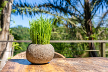 Green Rice Sprouts In A Stone Flower Pot On A Wooden Table In Empty Cafe Next To The Tropical Jungle In Island Bali, Indonesia