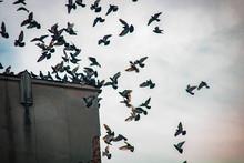 Flock Of Pigeons Landing