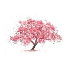 Sakura Tree In Bloom. Cherry B...