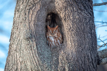 Eastern Screech Owl At Rest
