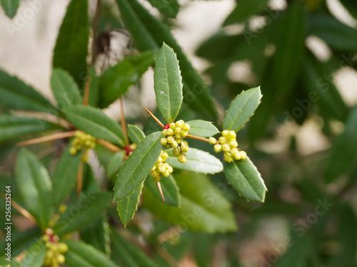 Fotografia  Rameau épineux de l'Epine-vinette (Berberis vulgaris) ou le vinetier aux grappes