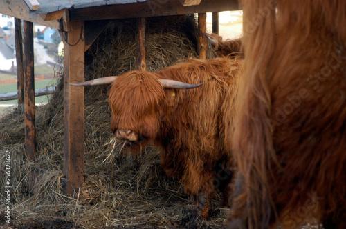 Fotografía  fütterung Schottischeshochlandrind
