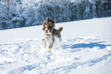 English Springer Spaniel Running On Snow-covered Meadow