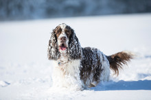 Portrait Of English Springer Spaniel On Snow-covered Meadow