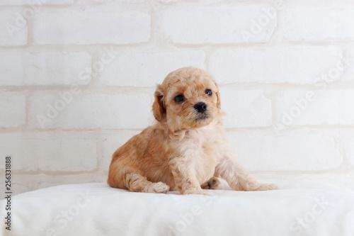 Obraz 何かを見てるトイプードル子犬 - fototapety do salonu