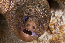 Goldentail Moray Eel (Gymnotho...