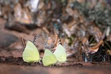 Butterfly,Catopsilia Pomona Pomona
