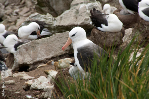 Leinwand Poster New Island Falkland Islands, Black-brow albatross with fledgling on nest with ro