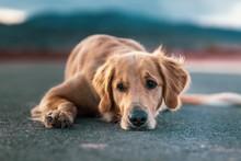 Beautiful Golden Retriever Family Dog