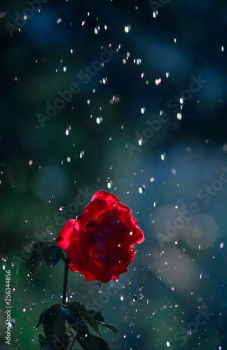 Fototapety, obrazy: Red rose in the rain