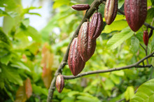 Cocoa Fruits And Trees In The ...