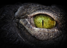Scary Eye Of A Crocodile. Gree...