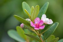 Pink Flowers Of Rose Myrtle Gr...