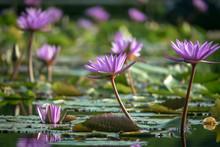 Water Lilies (Lotus Flowers) A...